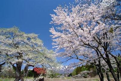 弘法の桜と岩手山 | 絶景事典