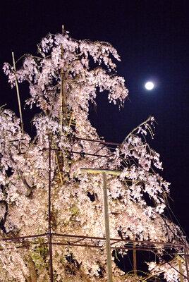 月も観桜 | 絶景事典
