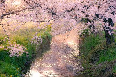 今井の桜 | 絶景事典