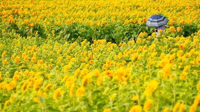 八重咲きのひまわり畑 | 絶景事典