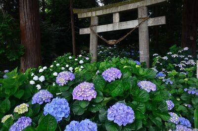 磯山神社 紫陽花 | 絶景事典