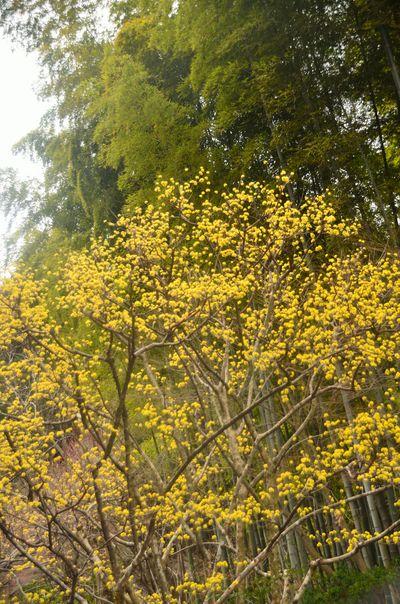 竹林と山茱萸 | 絶景事典