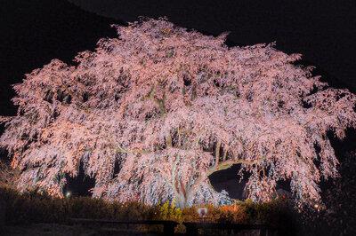 湯�山温泉  �垂れ桜 | 絶景事典