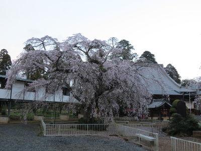 『しだれ桜』/妙宣寺 | 絶景事典