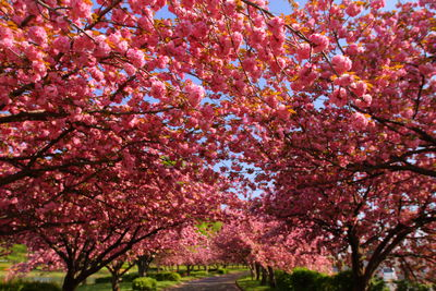 八重桜並木   絶景事典