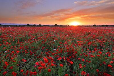 鴻巣ポピー畑の夕日 | 絶景事典