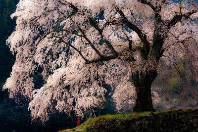 上発知のしだれ桜 | 絶景事典