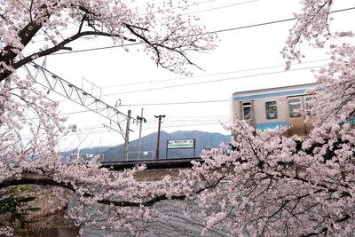 桜の中を走る中央線 | 絶景事典