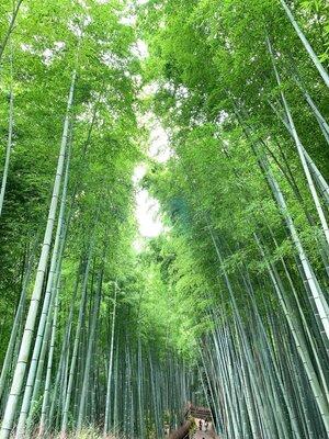 嵐山、天龍寺、竹林の小径〜圧巻の竹林、竹の葉の静謐な騒めき〜 | 絶景事典