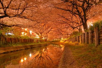 新河岸川の誉桜 夜桜   絶景事典