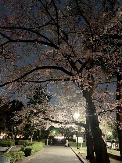 夜桜   絶景事典