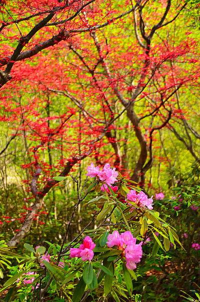 新緑の中の石楠花   絶景事典