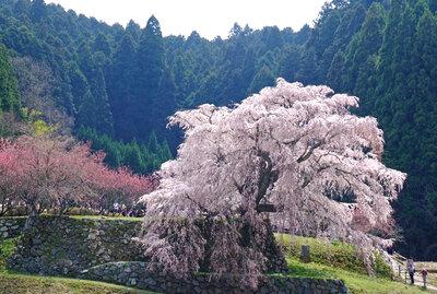 400年の春を舞う | 絶景事典