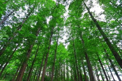 メタセコイアの森、初夏 | 絶景事典