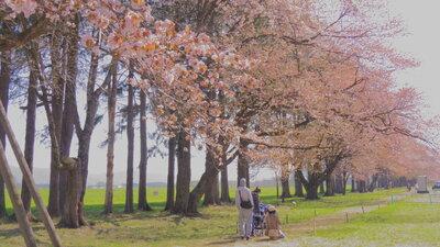 桜と家族   絶景事典