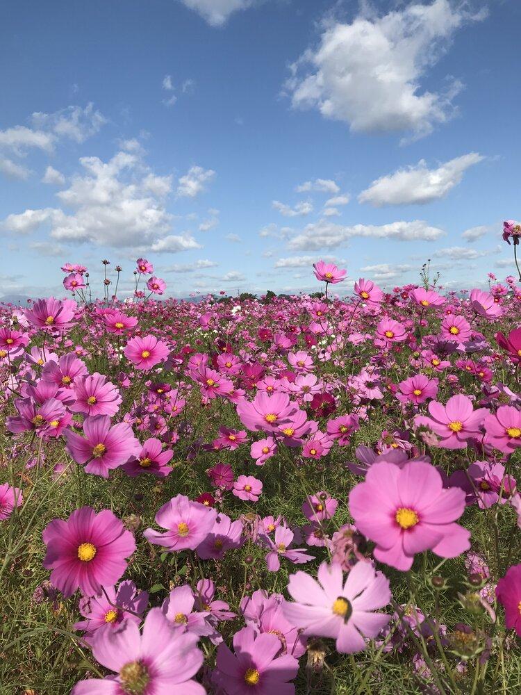 ファインダーに収まりきらない!日本の美しいお花畑のメイン画像