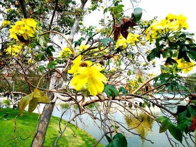 タイの黄色い花 | 絶景事典