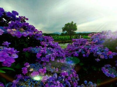 蓮と額紫陽花 | 絶景事典