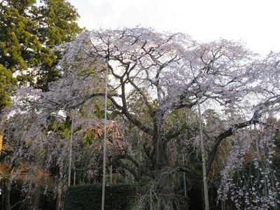 『ウバヒガンしだれ桜の二世』/長光寺 | 絶景事典