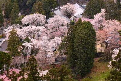 北之坊のしだれ桜とエドヒガン   絶景事典