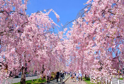 まだまだ桜!さくら! ソメイヨシノだけじゃない、さまざまな桜の絶景のメイン画像
