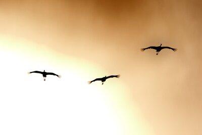 夕日をバックに飛翔するタンチョウ | 絶景事典