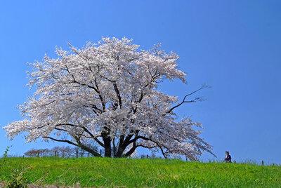 八重子の桜 | 絶景事典