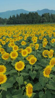 向日葵の畑   絶景事典