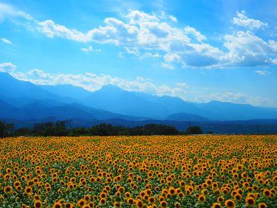 ひまわり畑 | 絶景事典