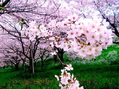 千綿の桜 | 絶景事典