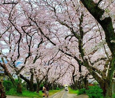 円応寺桜並木 | 絶景事典