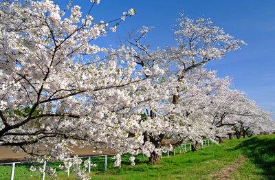 春の並木で | 絶景事典