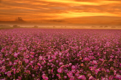 ムギナデシコ畑の夕焼け | 絶景事典