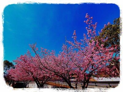 河津桜並木 | 絶景事典