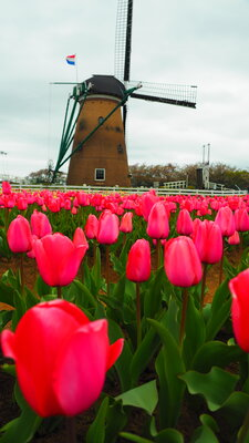 オランダ風車とチューリップ | 絶景事典