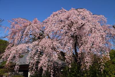 中院のしだれ桜   絶景事典