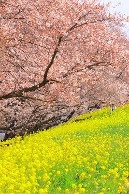 熊谷桜堤1 | 絶景事典