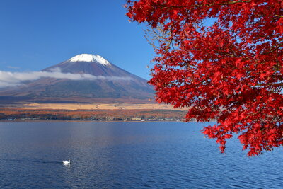 富士山を望む山中湖の紅葉と白鳥   絶景事典