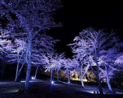 輝く夜桜   絶景事典
